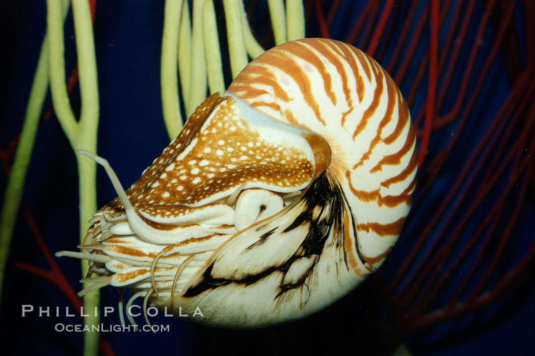 The chambered nautilus is a living fossil whose relatives date back 100s of millions of years. The nautilus lives at great depths (1800) within fore-reef habitats of the Indian and Pacific oceans. It is an active swimmer, propelling itself close to the sea floor by expelling  water from its movable siphon., Nautilus pompilius, natural history stock photograph, photo id 07798