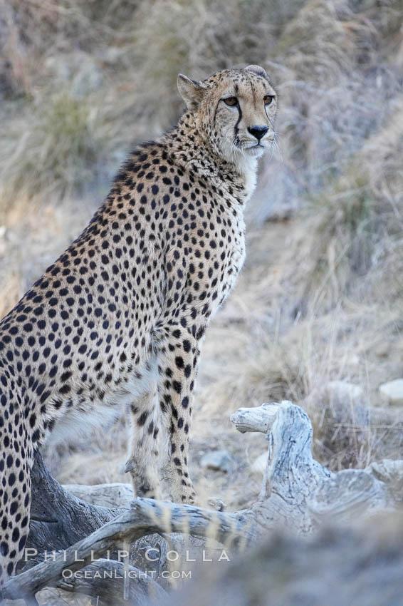 Cheetah., Acinonyx jubatus, natural history stock photograph, photo id 17972