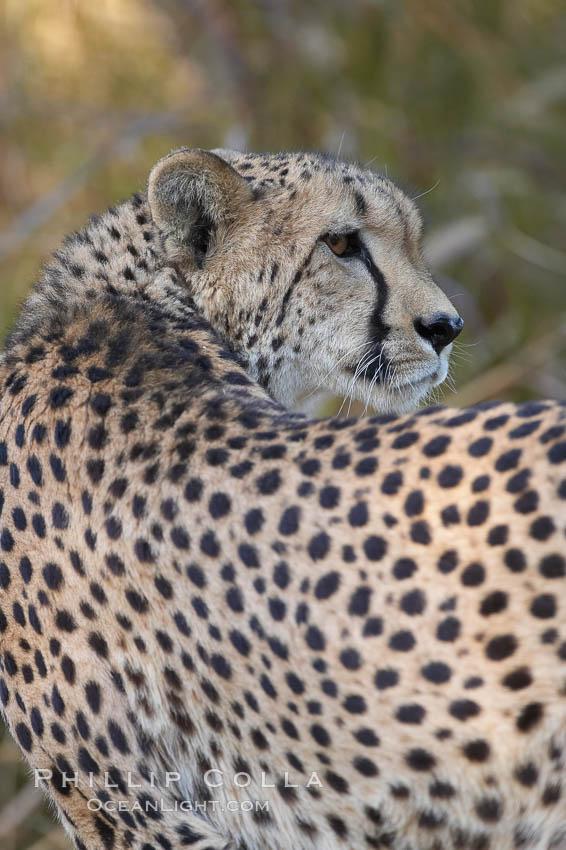 Image 17971, Cheetah., Acinonyx jubatus, Phillip Colla, all rights reserved worldwide. Keywords: acinonyx, acinonyx jubatus, animal, carnivora, cheetah, felidae, feliformia, felinae, jubatus, mammal.
