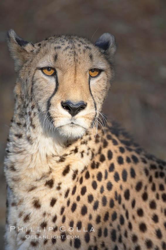 Cheetah., Acinonyx jubatus, natural history stock photograph, photo id 17965