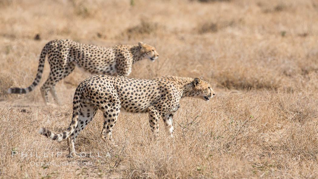 Cheetah, Amboseli National Park. Amboseli National Park, Kenya, Acinonyx jubatus, natural history stock photograph, photo id 29570