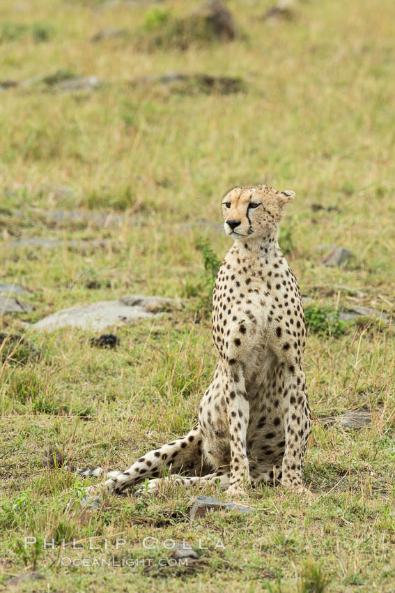Cheetah, Maasai Mara National Reserve. Maasai Mara National Reserve, Kenya, Acinonyx jubatus, natural history stock photograph, photo id 29842