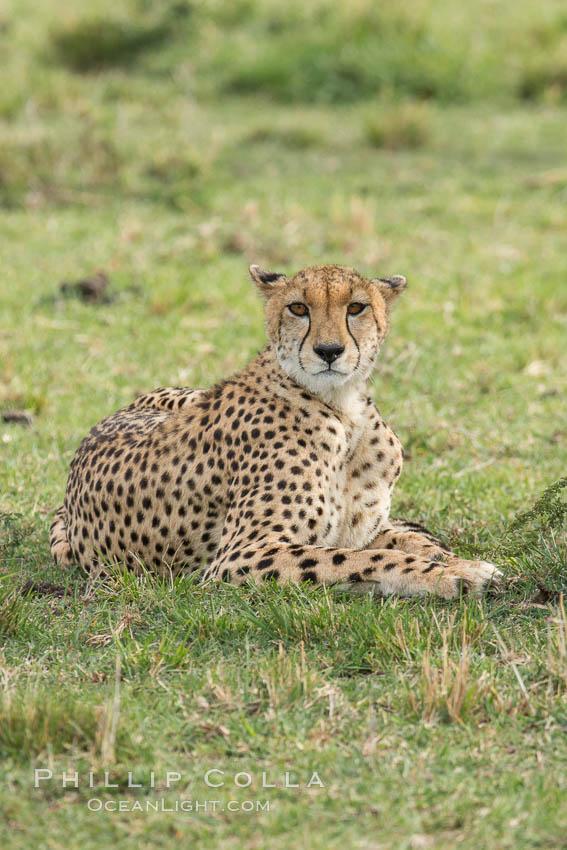 Cheetah, Olare Orok Conservancy. Olare Orok Conservancy, Kenya, Acinonyx jubatus, natural history stock photograph, photo id 29978