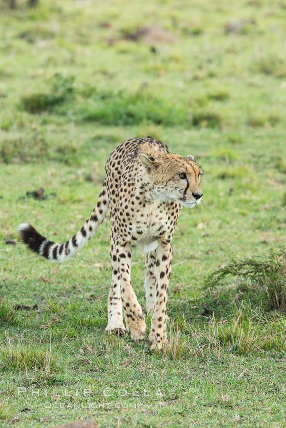 Cheetah, Olare Orok Conservancy. Olare Orok Conservancy, Kenya, Acinonyx jubatus, natural history stock photograph, photo id 29984