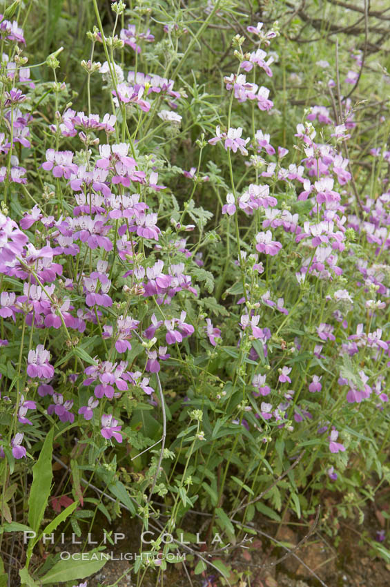 Chinese houses bloom in spring, Lake Elsinore. California, USA, Collinsia heterophylla, natural history stock photograph, photo id 11605