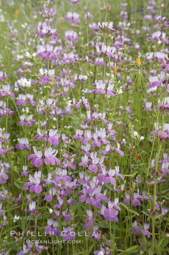 Chinese houses bloom in spring, Lake Elsinore. Lake Elsinore, California, USA, Collinsia heterophylla, natural history stock photograph, photo id 11608