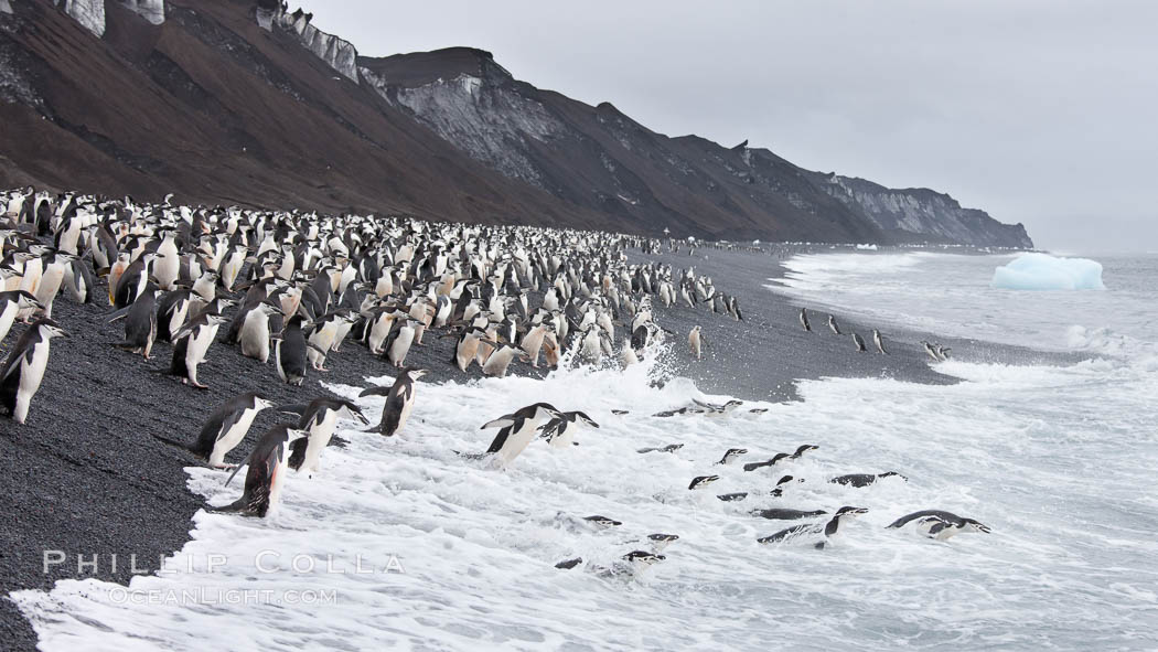 Chinstrap penguins at Bailey Head, Deception Island.  Chinstrap penguins enter and exit the surf on the black sand beach at Bailey Head on Deception Island.  Bailey Head is home to one of the largest colonies of chinstrap penguins in the world. Deception Island, Antarctic Peninsula, Antarctica, Pygoscelis antarcticus, natural history stock photograph, photo id 25466