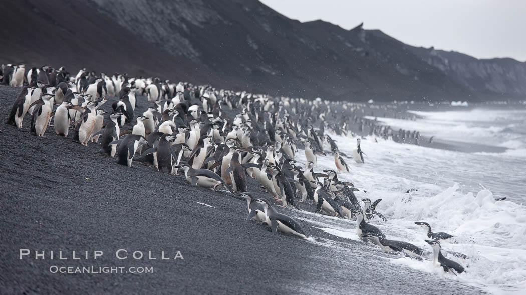 Chinstrap penguins at Bailey Head, Deception Island.  Chinstrap penguins enter and exit the surf on the black sand beach at Bailey Head on Deception Island.  Bailey Head is home to one of the largest colonies of chinstrap penguins in the world. Deception Island, Antarctic Peninsula, Antarctica, Pygoscelis antarcticus, natural history stock photograph, photo id 25480