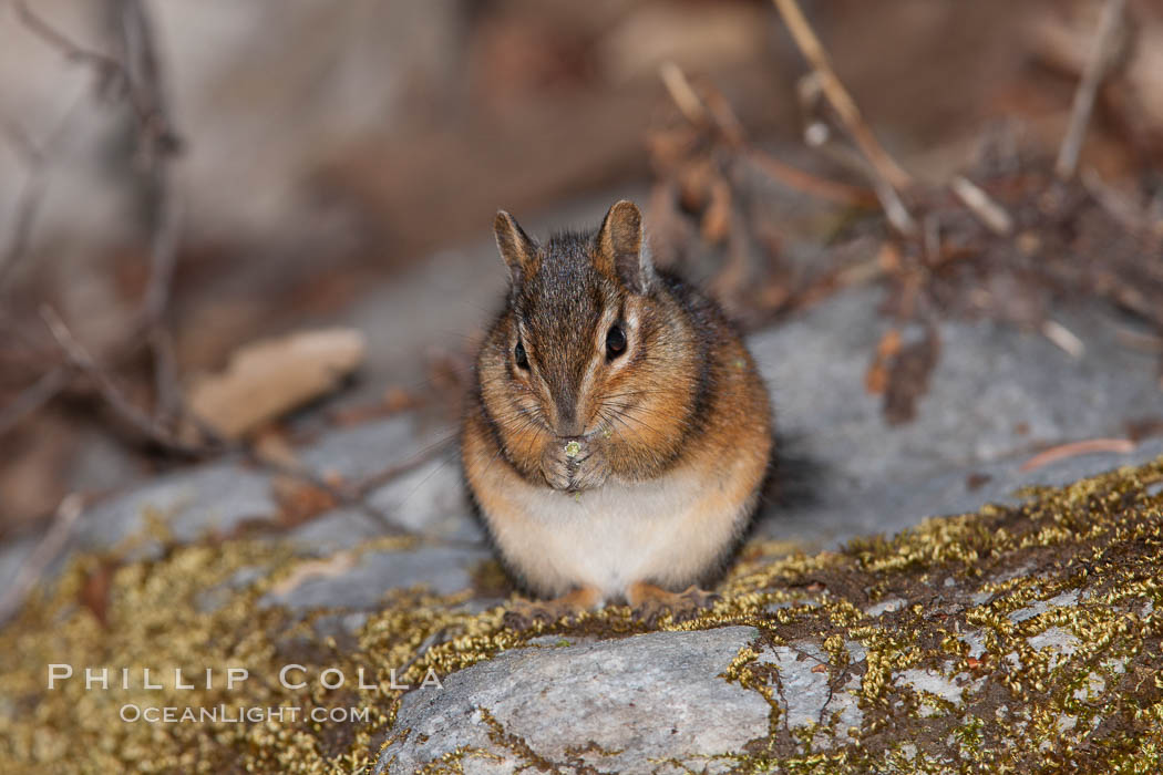 Chipmunk. Oregon Caves National Monument, USA, Tamias, natural history stock photograph, photo id 25875