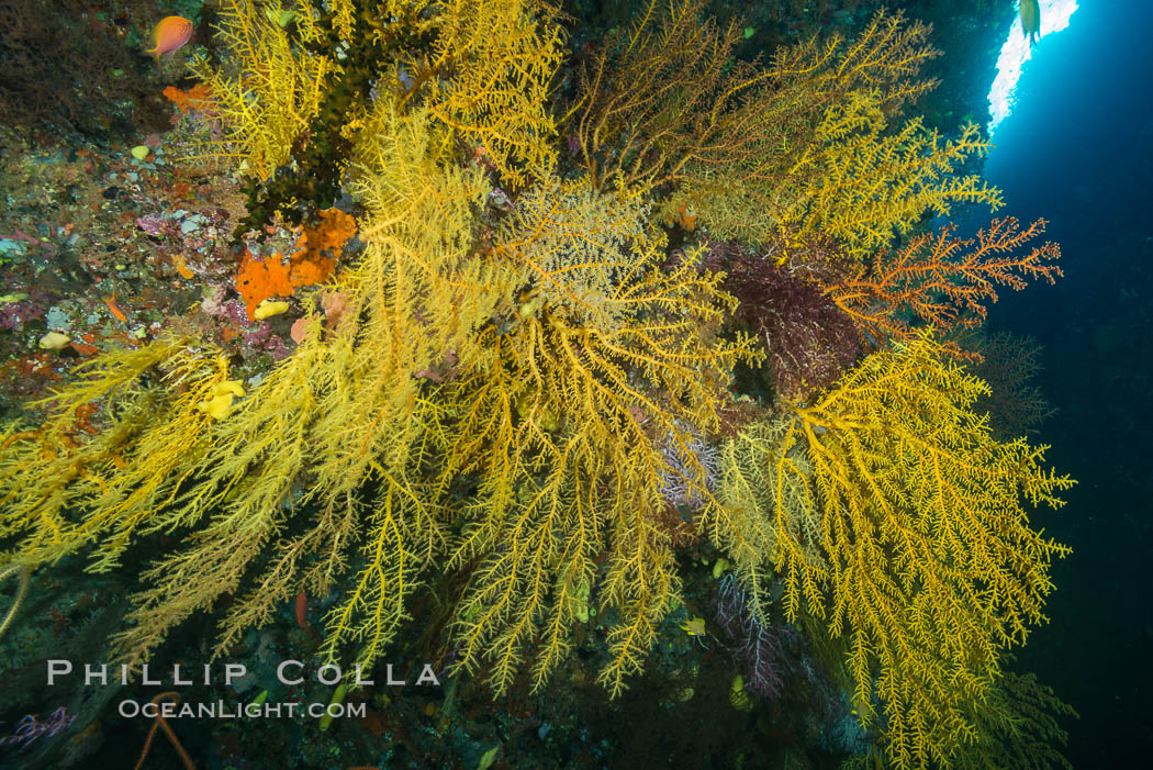 Colorful Chironephthya soft coral coloniea in Fiji, hanging off wall, resembling sea fans or gorgonians. Vatu I Ra Passage, Bligh Waters, Viti Levu  Island, Gorgonacea, Chironephthya, natural history stock photograph, photo id 31502