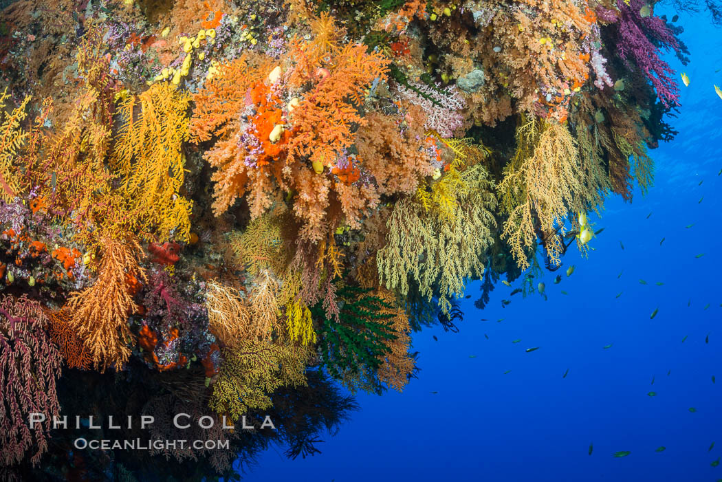 Colorful Chironephthya soft coral coloniea in Fiji, hanging off wall, resembling sea fans or gorgonians. Vatu I Ra Passage, Bligh Waters, Viti Levu  Island, Gorgonacea, Chironephthya, natural history stock photograph, photo id 31678
