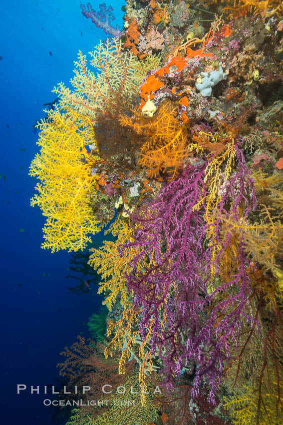 Image 31698, Colorful Chironephthya soft coral coloniea in Fiji, hanging off wall, resembling sea fans or gorgonians. Vatu I Ra Passage, Bligh Waters, Viti Levu  Island, Fiji, Gorgonacea, Chironephthya, Phillip Colla, all rights reserved worldwide. Keywords: alcyonacea, animalia, anthozoa, chironephthya, chironepthya, cnidaria, coral, coral reef, fiji, fiji islands, fijian islands, island, marine, mount mutiny, nature, nidaliidae, oceania, octocorallia, pacific ocean, reef, soft coral, south pacific, tropical, underwater.