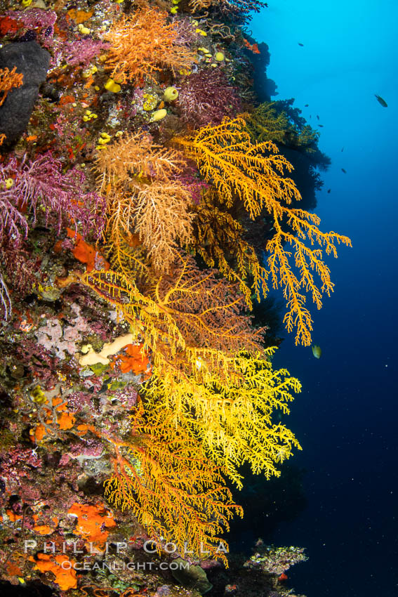 Colorful Chironephthya soft coral coloniea in Fiji, hanging off wall, resembling sea fans or gorgonians. Vatu I Ra Passage, Bligh Waters, Viti Levu Island, natural history stock photograph, photo id 34966