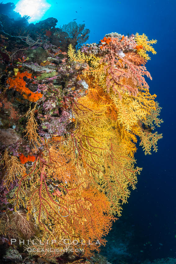 Colorful Chironephthya soft coral coloniea in Fiji, hanging off wall, resembling sea fans or gorgonians. Vatu I Ra Passage, Bligh Waters, Viti Levu  Island, Chironephthya, natural history stock photograph, photo id 31487