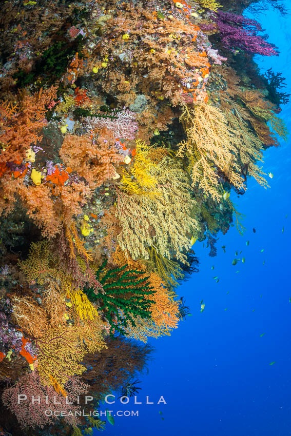 Colorful Chironephthya soft coral coloniea in Fiji, hanging off wall, resembling sea fans or gorgonians. Vatu I Ra Passage, Bligh Waters, Viti Levu  Island, Gorgonacea, Chironephthya, natural history stock photograph, photo id 31679