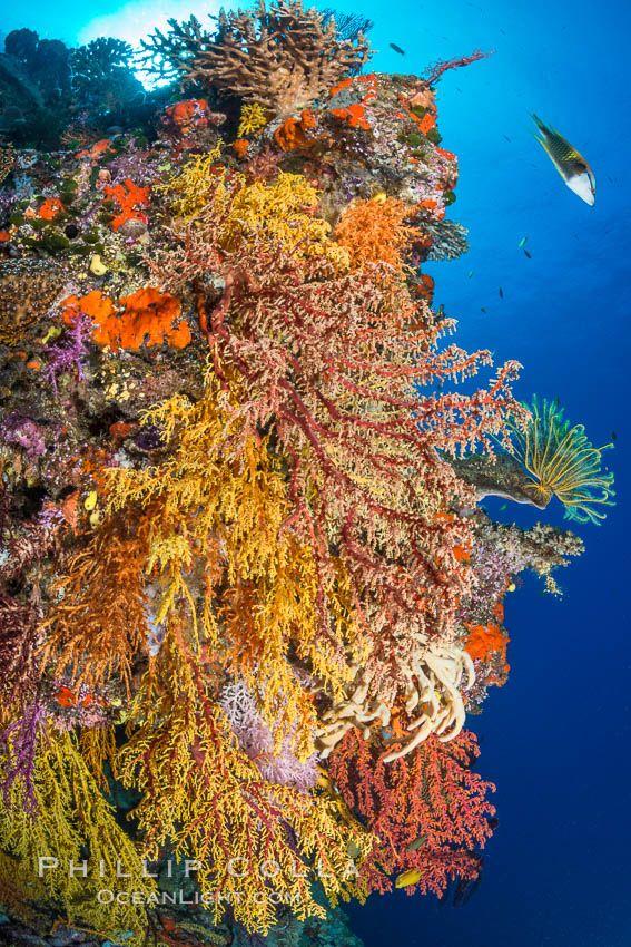 Colorful Chironephthya soft coral coloniea in Fiji, hanging off wall, resembling sea fans or gorgonians. Vatu I Ra Passage, Bligh Waters, Viti Levu  Island, Gorgonacea, Chironephthya, natural history stock photograph, photo id 31683