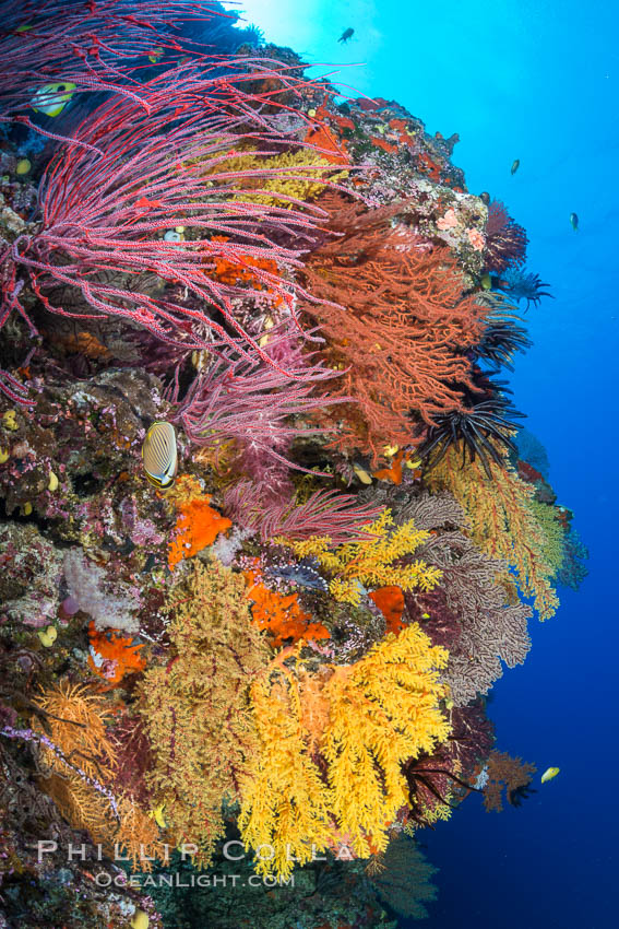 Colorful Chironephthya soft coral coloniea in Fiji, hanging off wall, resembling sea fans or gorgonians. Vatu I Ra Passage, Bligh Waters, Viti Levu  Island, Fiji, Gorgonacea, Chironephthya, natural history stock photograph, photo id 31361