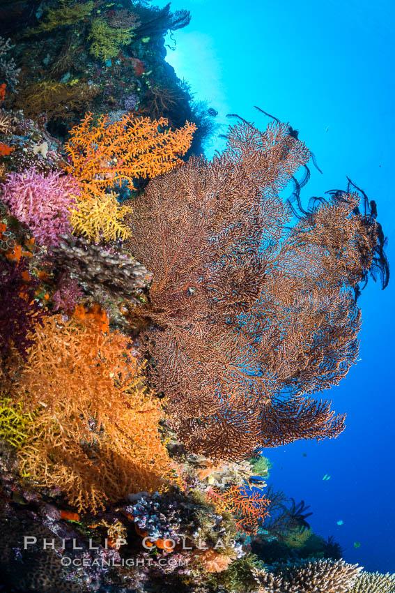 Image 31485, Colorful Chironephthya soft coral coloniea in Fiji, hanging off wall, resembling sea fans or gorgonians. Vatu I Ra Passage, Bligh Waters, Viti Levu  Island, Fiji, Crinoidea, Gorgonacea, Chironephthya, Phillip Colla, all rights reserved worldwide. Keywords: alcyonacea, animalia, anthozoa, bligh waters, chironephthya, chironepthya, cnidaria, coral, coral reef, crinoid, crinoidea, crinozoa, echinoderm, echinodermata, fiji, fiji islands, fijian islands, island, marine, nature, nidaliidae, oceania, octocorallia, pacific ocean, reef, soft coral, south pacific, tropical, underwater, vatu i ra, vatu i ra passage, viti levu.