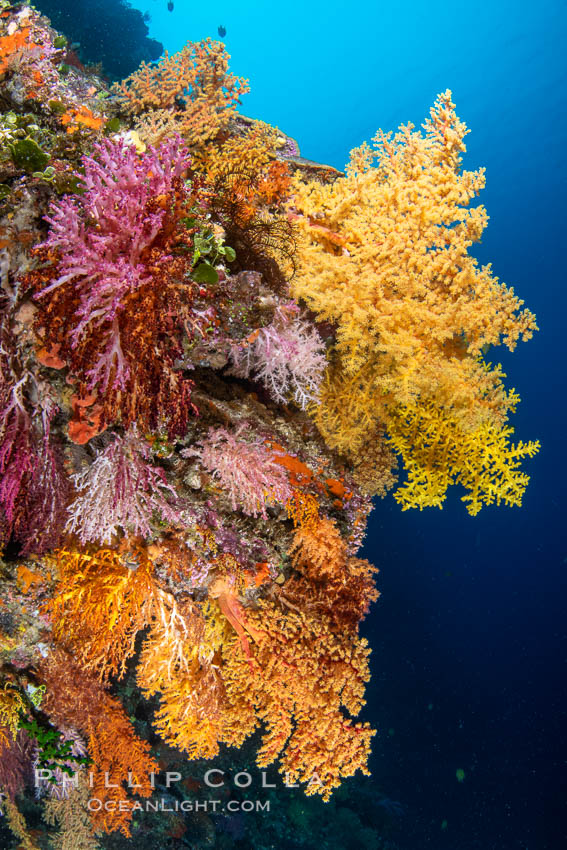 Colorful Chironephthya soft coral coloniea in Fiji, hanging off wall, resembling sea fans or gorgonians. Vatu I Ra Passage, Bligh Waters, Viti Levu Island, Fiji, natural history stock photograph, photo id 34781