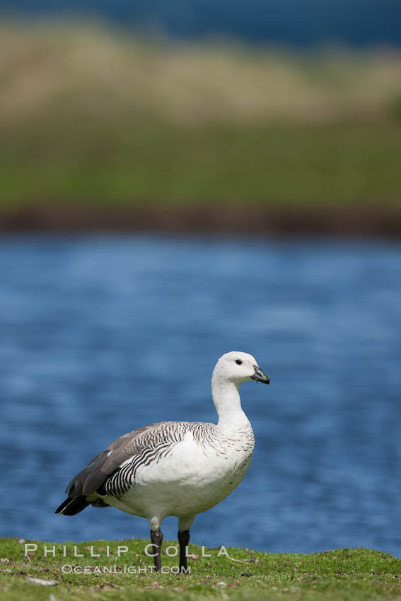 Upland goose, male, beside pond in the interior of Carcass Island near Dyke Bay. Carcass Island, Falkland Islands, United Kingdom, Chloephaga picta, natural history stock photograph, photo id 24065