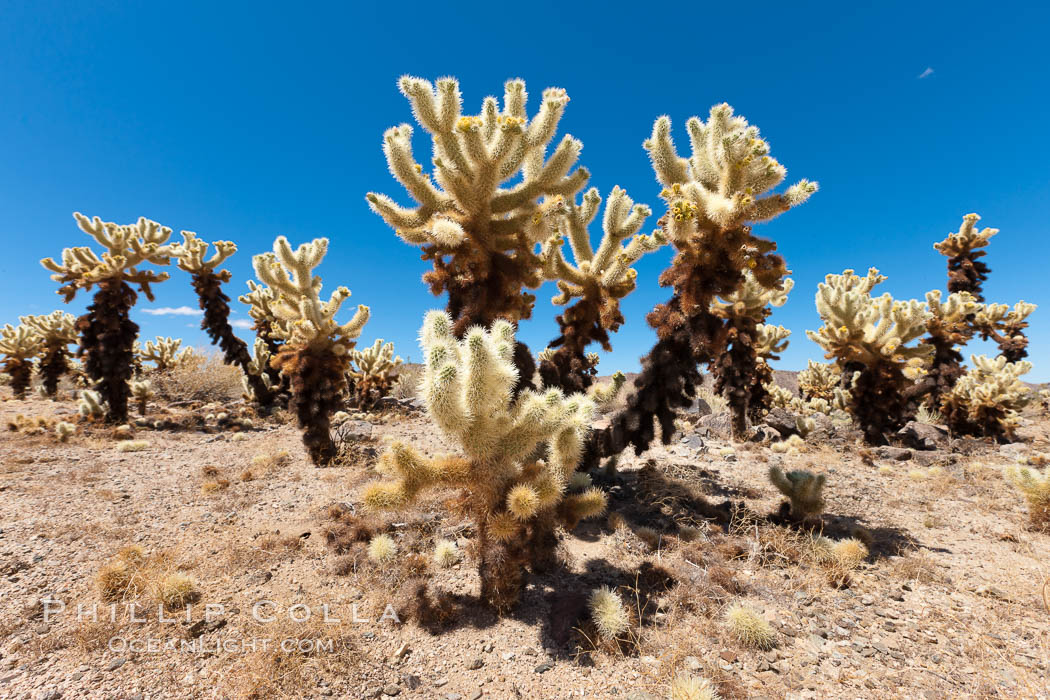Teddy-Bear cholla cactus. This species is covered with dense spines and pieces easily detach and painfully attach to the skin of distracted passers-by. Joshua Tree National Park, California, USA, Opuntia bigelovii, natural history stock photograph, photo id 26773