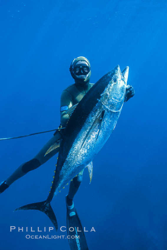 Chris Thompson and yellowfin tuna speared at Guadalupe Island. Guadalupe Island (Isla Guadalupe), Baja California, Mexico, natural history stock photograph, photo id 03730