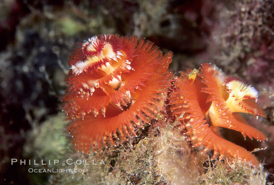 Christmas tree worm (annelid). Punte Vicente Roca, Galapagos Islands, Ecuador, Spirobranchus, natural history stock photograph, photo id 05350