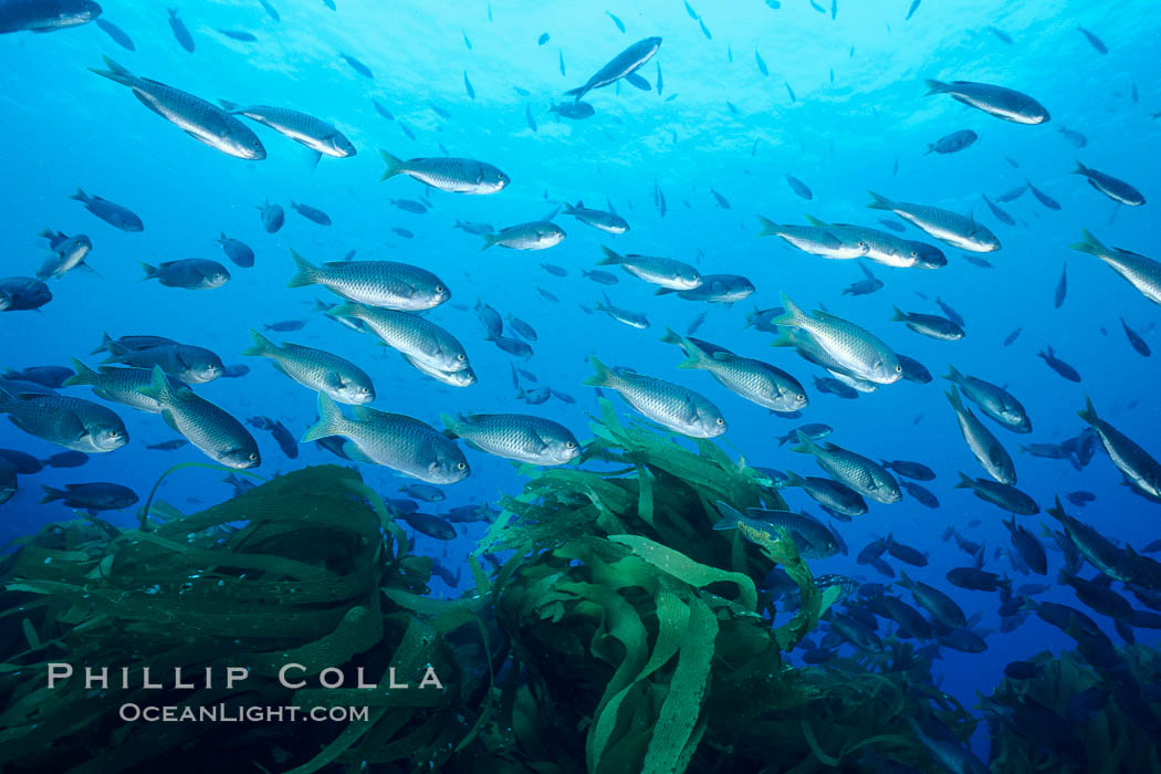Blacksmith schooling in current, Islas San Benito. San Benito Islands (Islas San Benito), Baja California, Mexico, Chromis punctipinnis, natural history stock photograph, photo id 03432