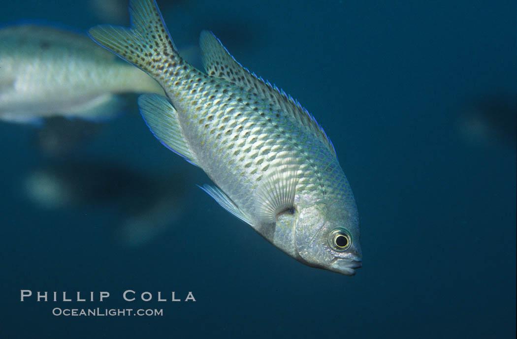 Blacksmith perch. Catalina Island, California, USA, Chromis punctipinnis, natural history stock photograph, photo id 05181