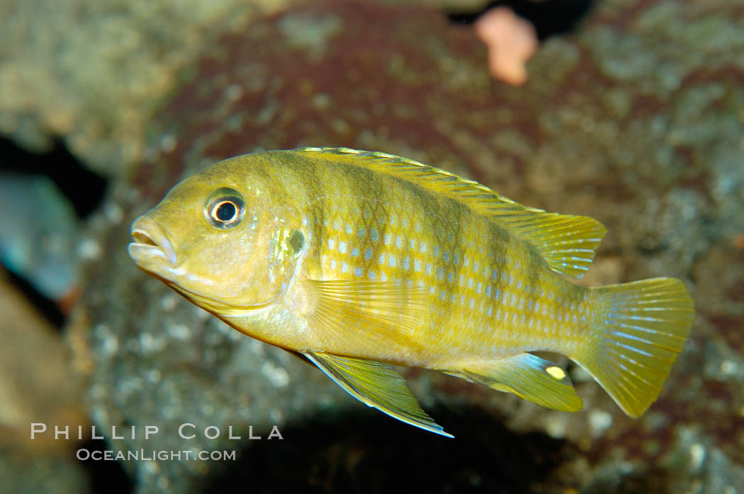 Unidentified African cichlid fish., natural history stock photograph, photo id 09368