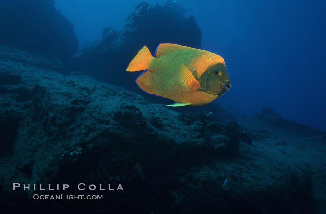 Adult Clarion angelfish, Revilligigedos. Socorro Island (Islas Revillagigedos), Baja California, Mexico, Holacanthus clarionensis, natural history stock photograph, photo id 05770