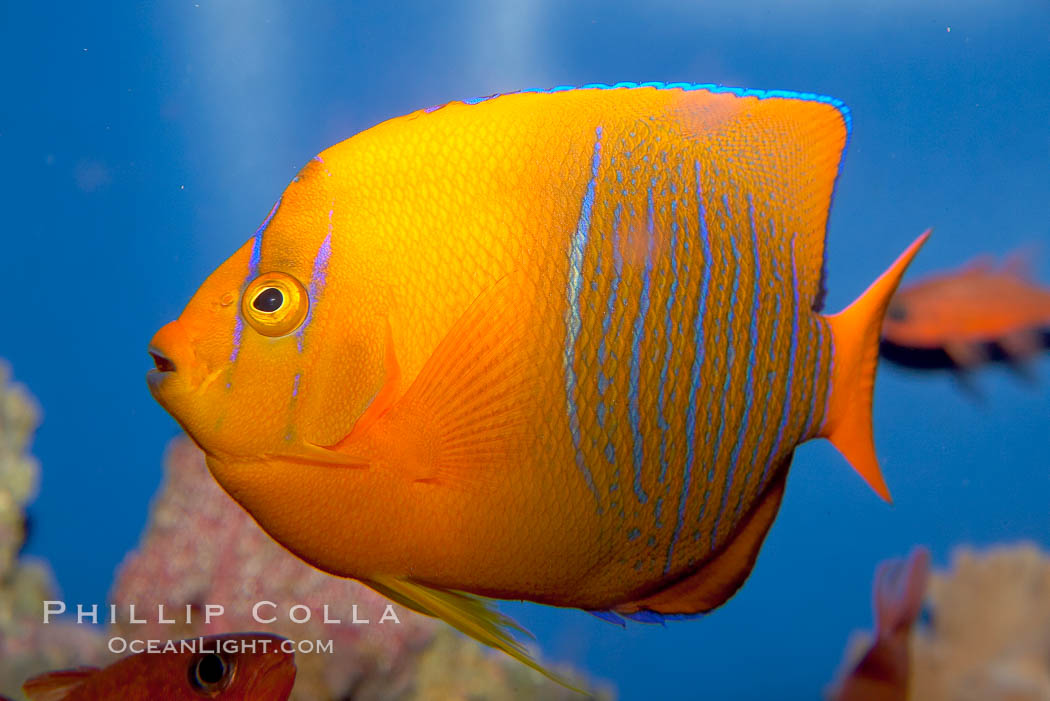Juvenile Clarion angelfish., Holacanthus clarionensis, natural history stock photograph, photo id 12901