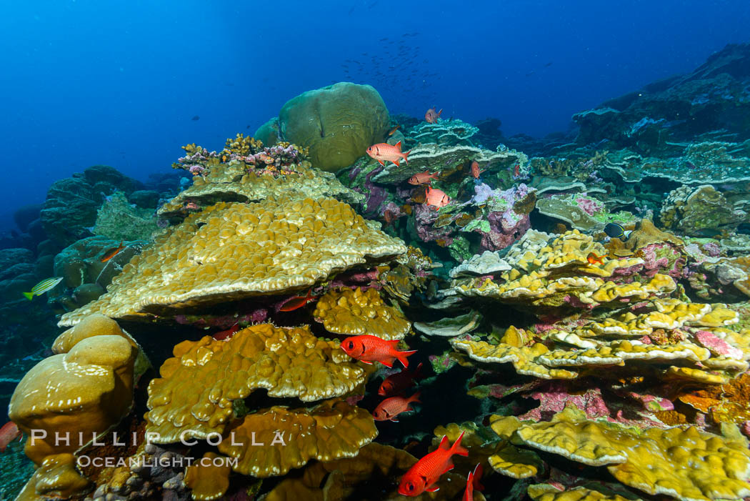 Clipperton Island coral reef, Porites sp. Clipperton Island, France, Porites lobata, Porites arnaudi, natural history stock photograph, photo id 32990