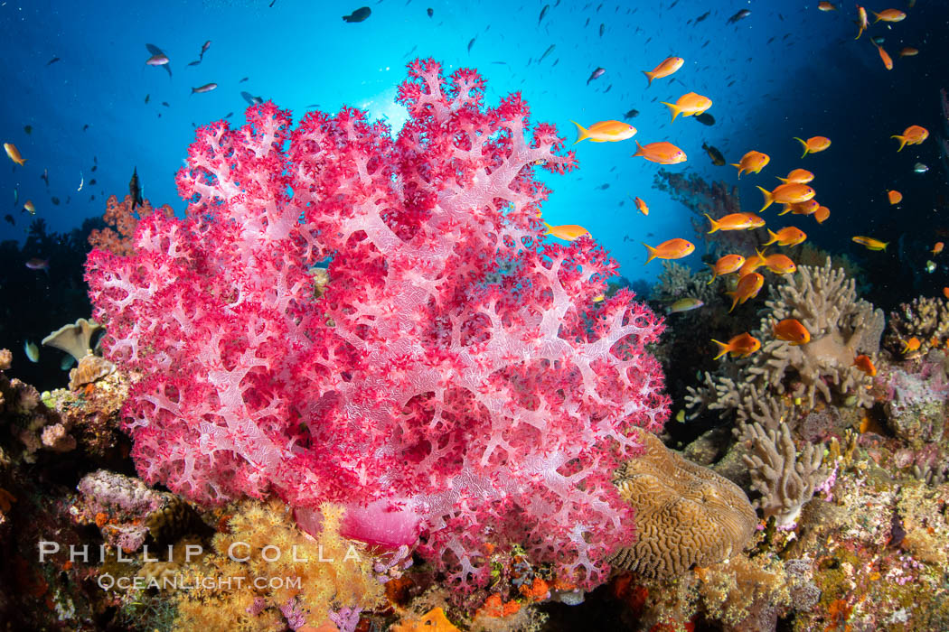 Closeup view of colorful dendronephthya soft corals, reaching out into strong ocean currents to capture passing planktonic food, Fiji, Dendronephthya