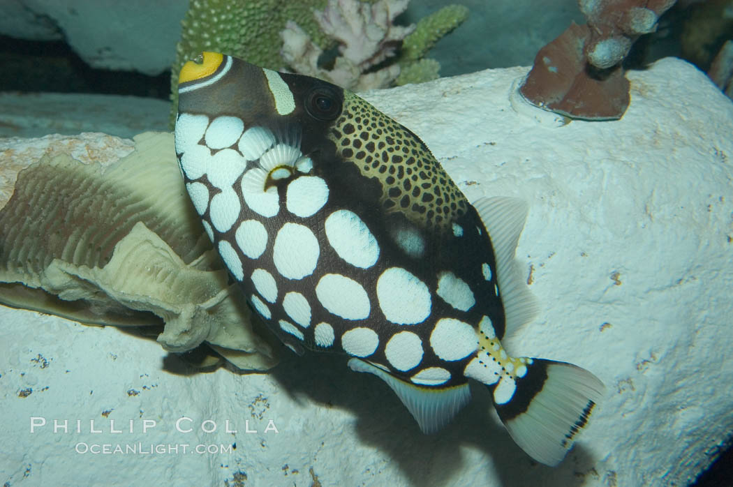 Clown triggerfish., Balistoides conspicillum, natural history stock photograph, photo id 07844