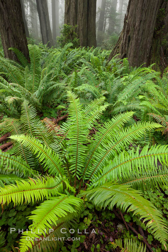 Ferns grow below coastal redwood and Douglas Fir trees, Lady Bird Johnson Grove, Redwood National Park.  The coastal redwood, or simply 'redwood', is the tallest tree on Earth, reaching a height of 379' and living 3500 years or more.  It is native to coastal California and the southwestern corner of Oregon within the United States, but most concentrated in Redwood National and State Parks in Northern California, found close to the coast where moisture and soil conditions can support its unique size and growth requirements. Redwood National Park, California, USA, Sequoia sempervirens, natural history stock photograph, photo id 25819