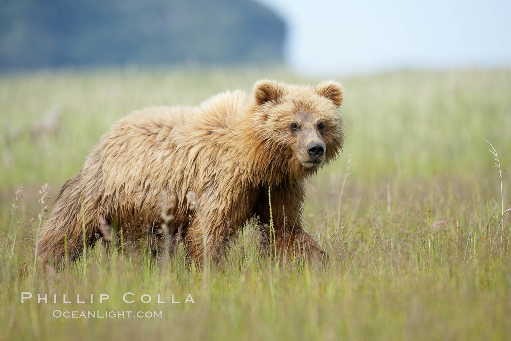 Coastal brown bear cub, one and a half years old, near Johnson River.  This cub will remain with its mother for about another six months, and will be on its own next year. Johnson River, Lake Clark National Park, Alaska, USA, Ursus arctos, natural history stock photograph, photo id 19198