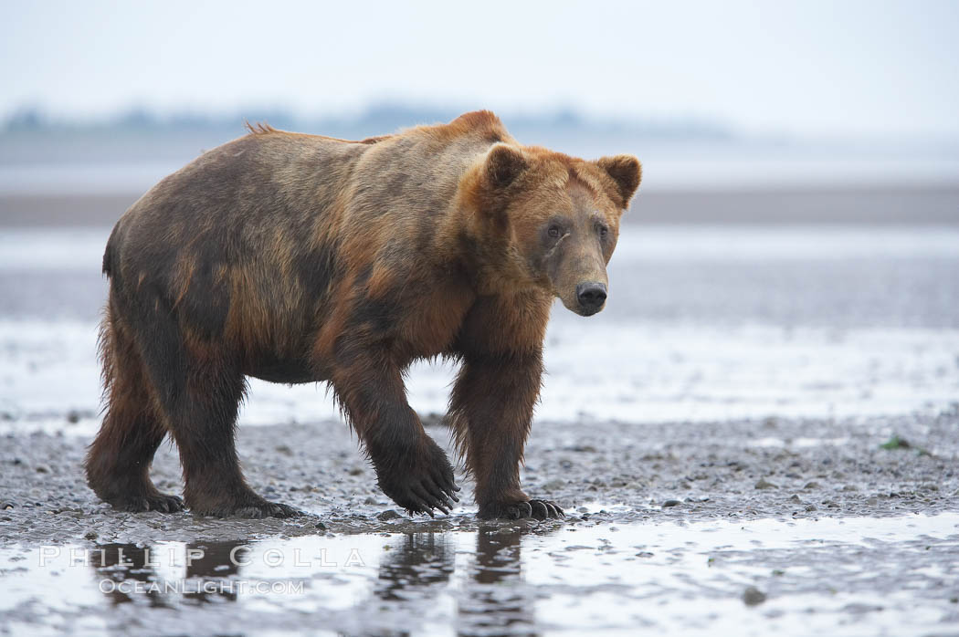 Mature male coastal brown bear boar waits on the tide flats at the mouth of Silver Salmon Creek for salmon to arrive.  Grizzly bear. Lake Clark National Park, Alaska, USA, Ursus arctos, natural history stock photograph, photo id 19202
