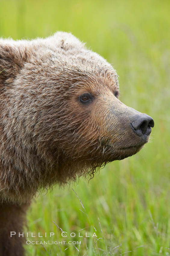 Brown bear head profile. Lake Clark National Park, Alaska, USA, Ursus arctos, natural history stock photograph, photo id 19184