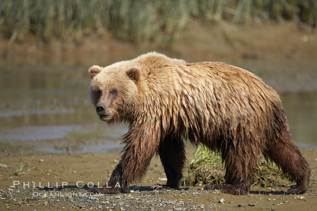 Coastal brown bear walks in Silver Salmon Creek. Silver Salmon Creek, Lake Clark National Park, Alaska, USA, Ursus arctos, natural history stock photograph, photo id 19191