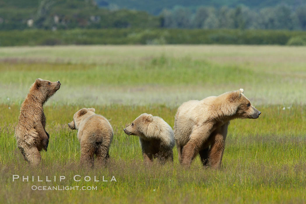 Brown bear mother sow and her three cubs, alert to the approach of another adult brown bear who may be a threat to the cubs. Lake Clark National Park, Alaska, USA, Ursus arctos, natural history stock photograph, photo id 19185