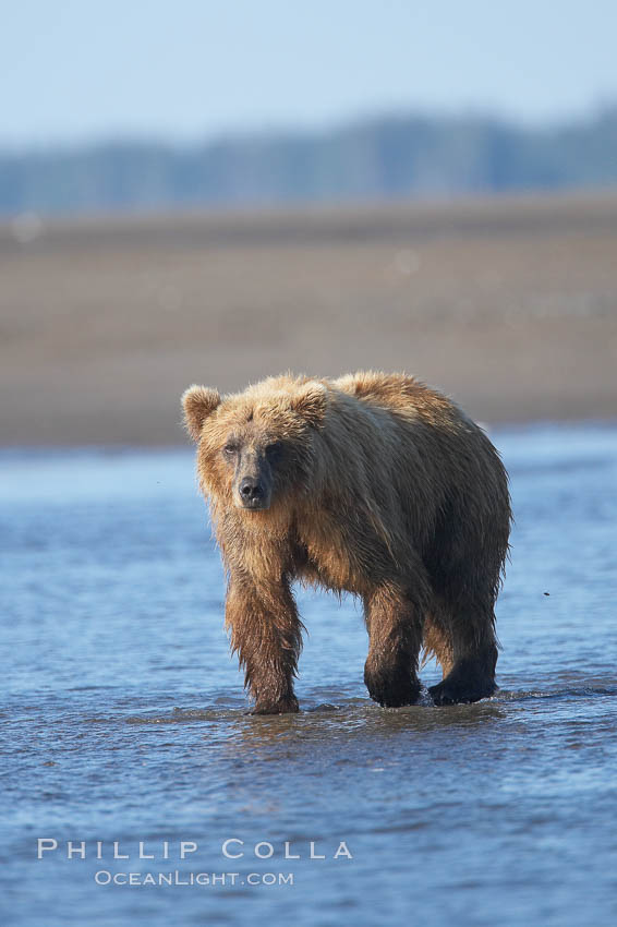 Coastal brown bear forages for salmon returning from the ocean to Silver Salmon Creek.  Grizzly bear. Lake Clark National Park, Alaska, USA, Ursus arctos, natural history stock photograph, photo id 19189