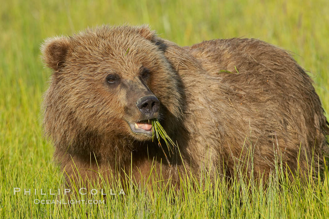 Young brown bear grazes in tall sedge grass.  Brown bears can consume 30 lbs of sedge grass daily, waiting weeks until spawning salmon fill the rivers. Lake Clark National Park, Alaska, USA, Ursus arctos, natural history stock photograph, photo id 19197