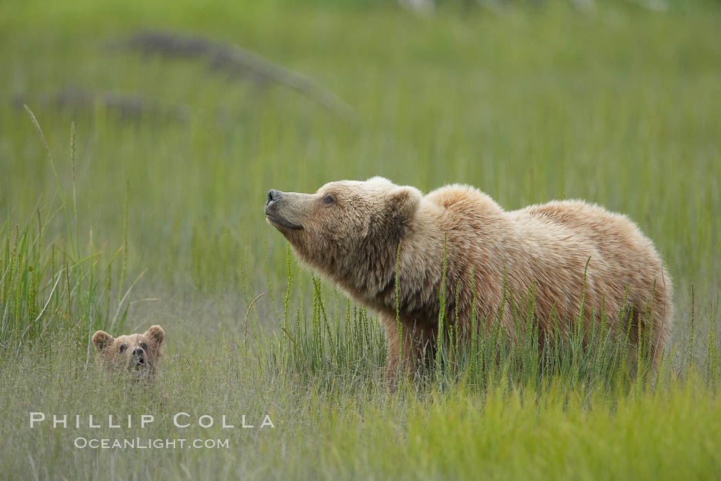 Brown bear female sow with spring cubs.  These three cubs were born earlier in the spring and will remain with their mother for almost two years, relying on her completely for their survival. Lake Clark National Park, Alaska, USA, Ursus arctos, natural history stock photograph, photo id 19205