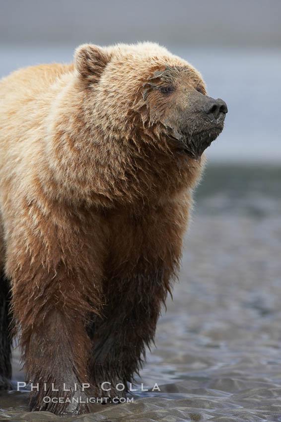 Image 19209, Coastal brown bear on sand flats at low tide. Lake Clark National Park, Alaska, USA, Ursus arctos