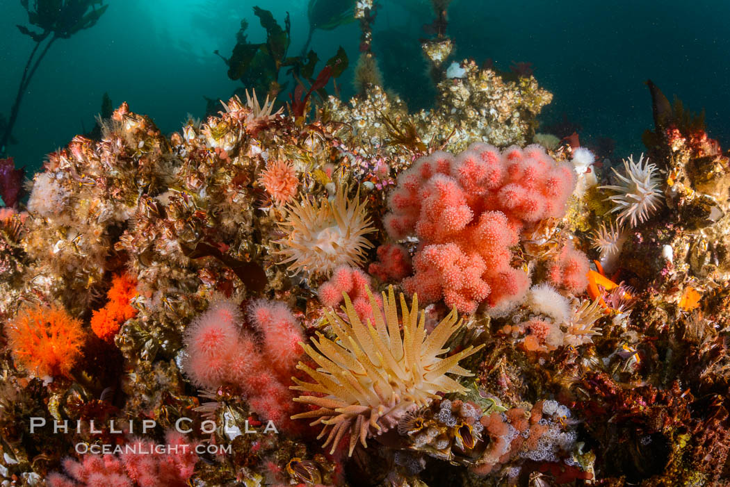 Colorful anemones cover the rocky reef in a kelp forest near Vancouver Island and the Queen Charlotte Strait.  Strong currents bring nutrients to the invertebrate life clinging to the rocks. British Columbia, Canada, Gersemia rubiformis, natural history stock photograph, photo id 34380