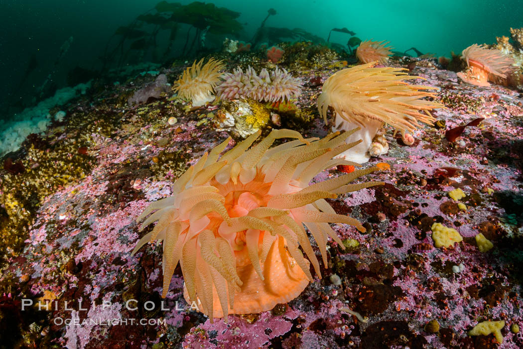 Colorful anemones cover the rocky reef in a kelp forest near Vancouver Island and the Queen Charlotte Strait.  Strong currents bring nutrients to the invertebrate life clinging to the rocks. British Columbia, Canada, natural history stock photograph, photo id 34383
