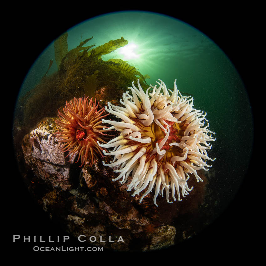 Vancouver Island hosts a profusion of spectacular anemones, on cold water reefs rich with invertebrate life. Browning Pass, Vancouver Island