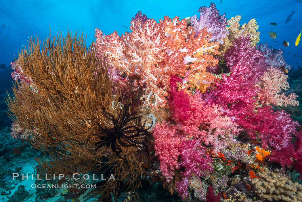 Colorful Dendronephthya Soft Corals and Black Coral, Fiji. Nigali Passage, Gau Island, Lomaiviti Archipelago, Fiji, Dendronephthya, natural history stock photograph, photo id 31334