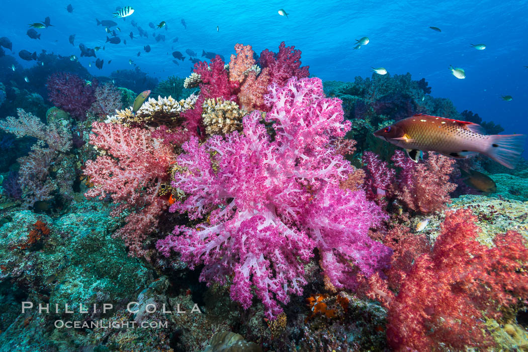 Spectacularly colorful dendronephthya soft corals on South Pacific reef, reaching out into strong ocean currents to capture passing planktonic food, Fiji. Nigali Passage, Gau Island, Lomaiviti Archipelago, Fiji, Dendronephthya, natural history stock photograph, photo id 31382